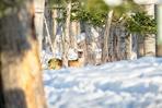 Chevreuil dans les arbres